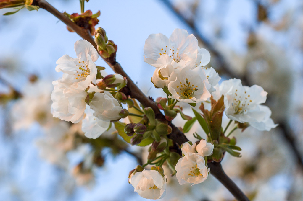Blossoming fig flowers