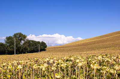 Hill with sunflowers