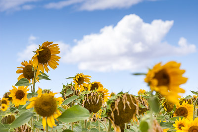 Windy sunflowers