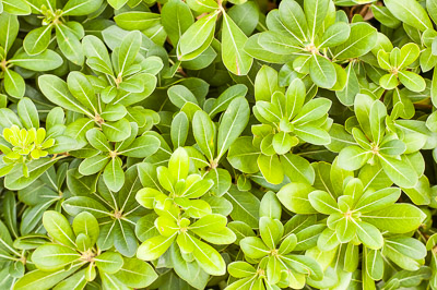 Pittosporum bush