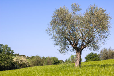 Olive tree and bushes
