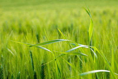 Green wheat field with grass