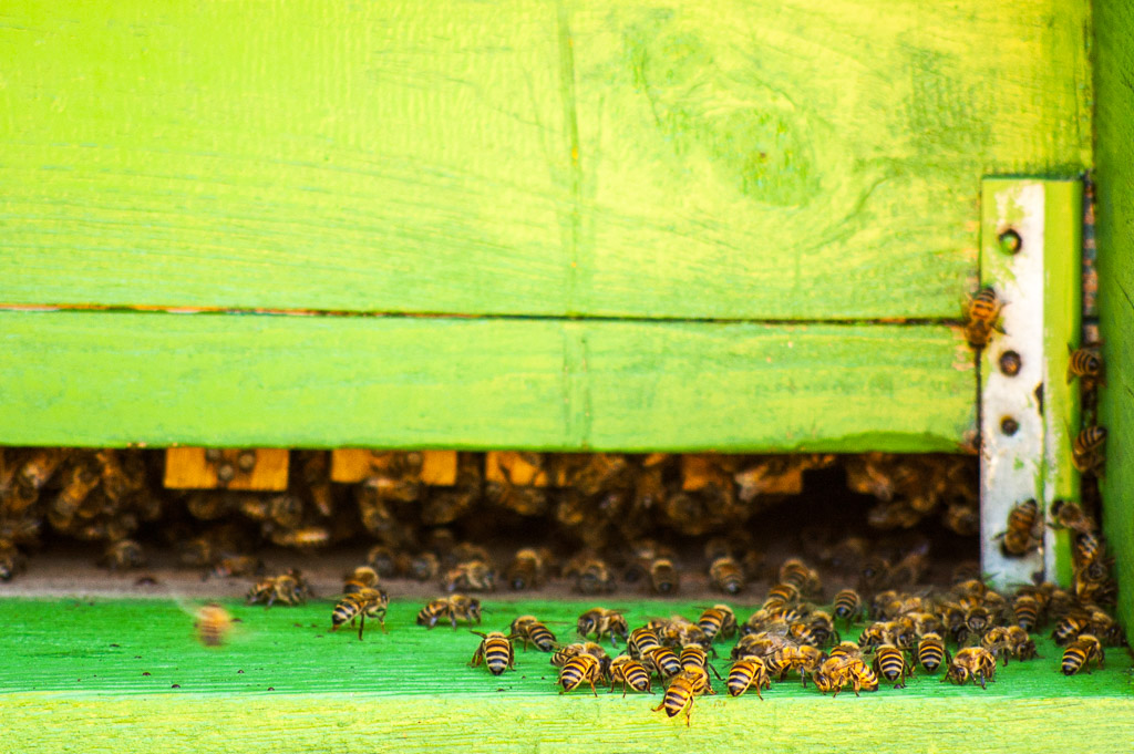 Bees in the apiary