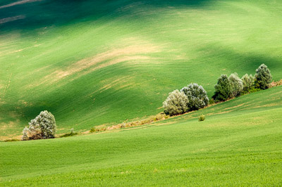 Green wheatgrains field