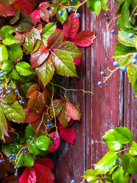 Autumn vine