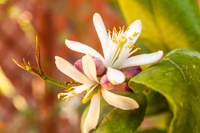 Lemon tree in blossom