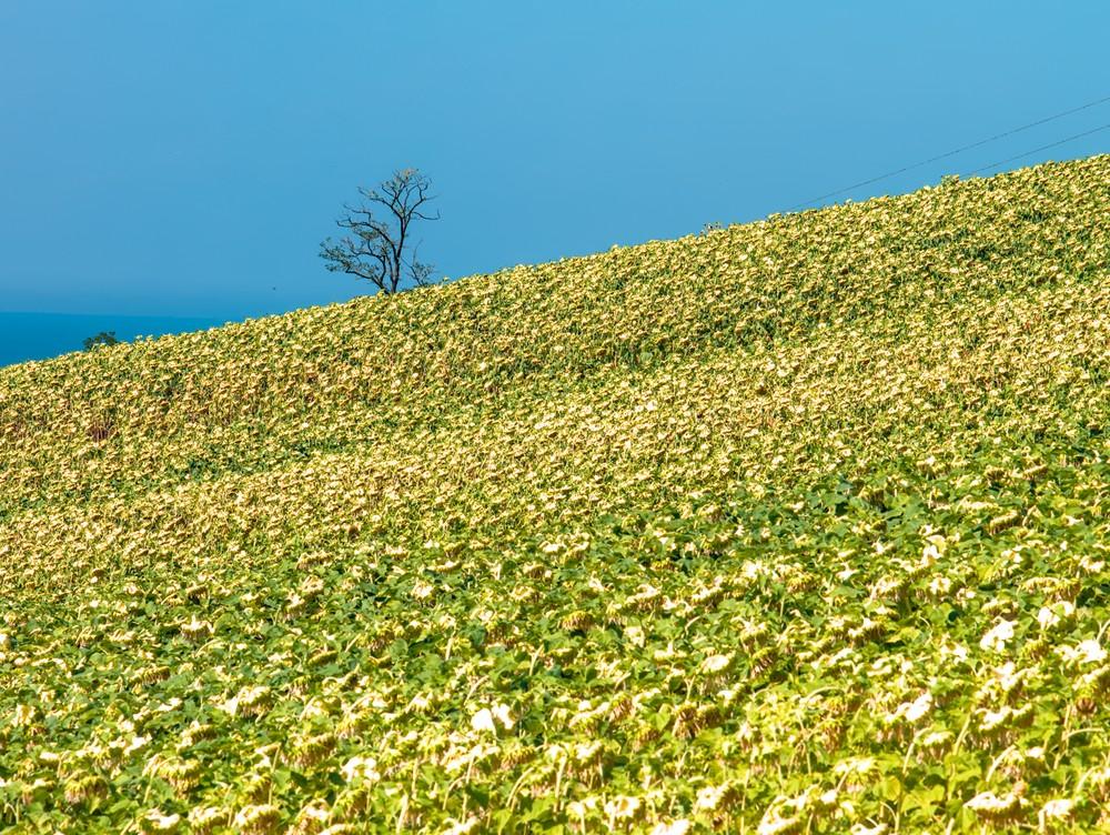 Tree and sunflowers field