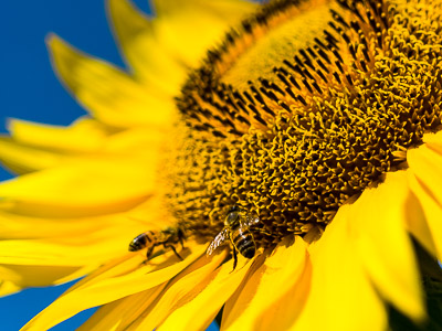 Bees on a sunflower