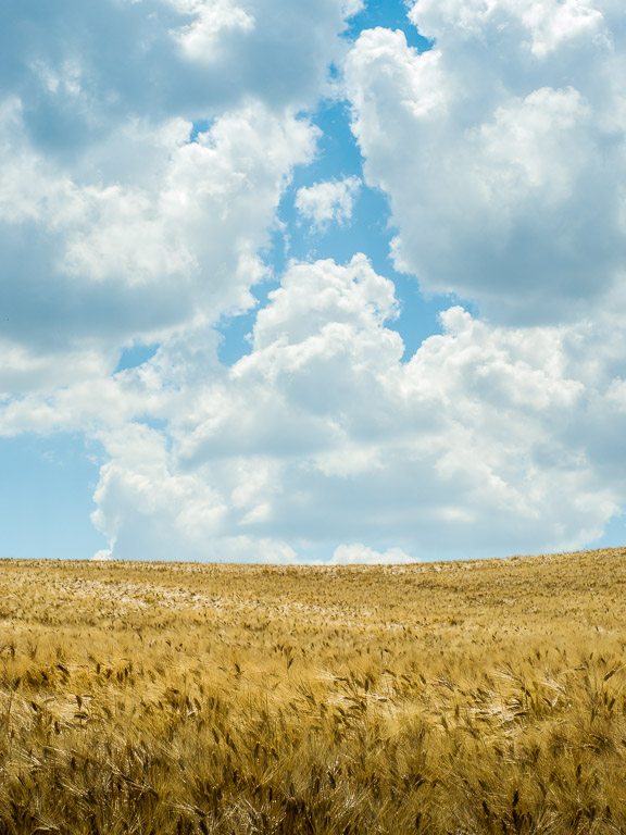 Wheat field and clouds