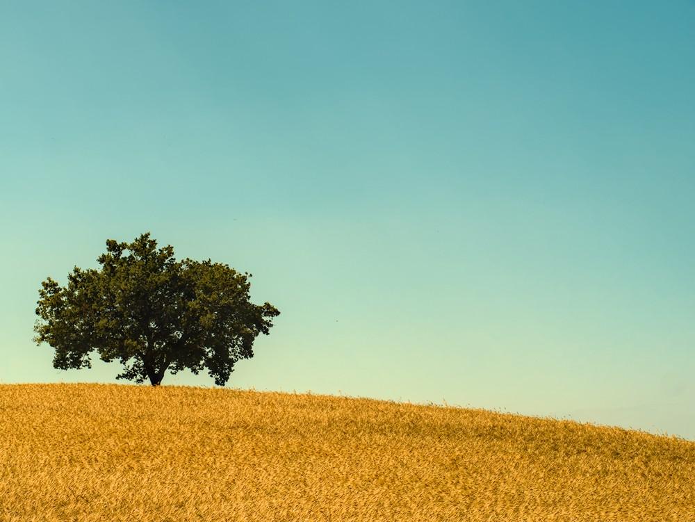 Tree in a wheat field