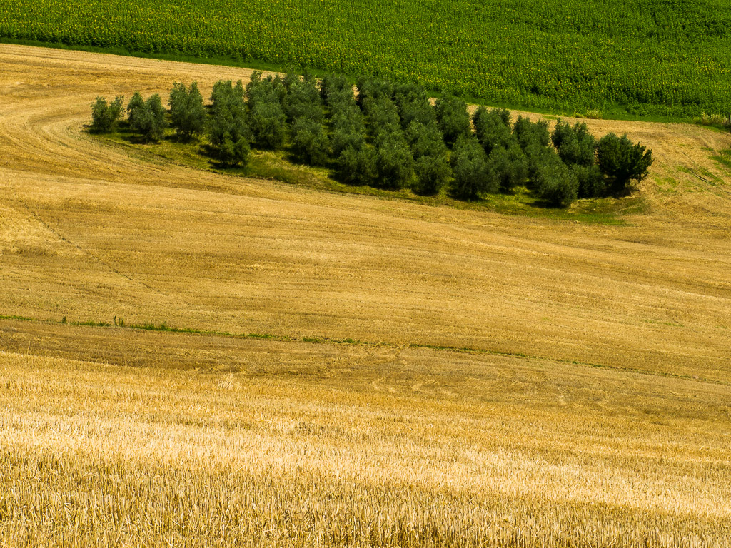 Group of tree in a wheat field