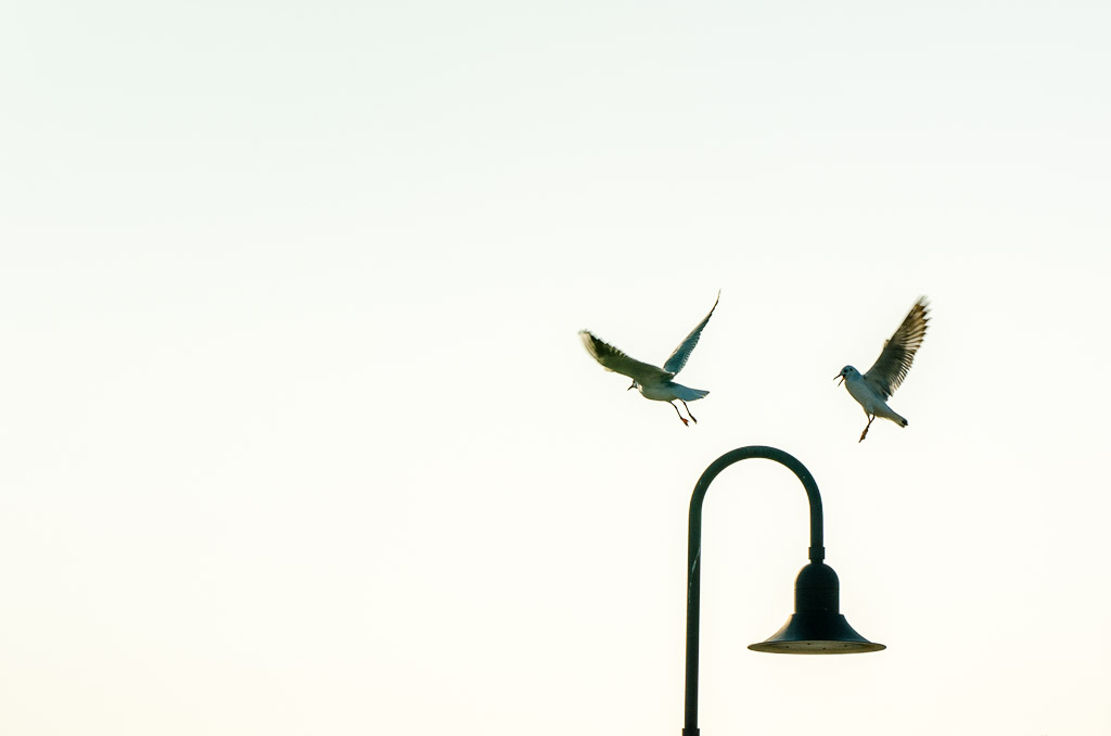 Seagull landing on a stree lamp