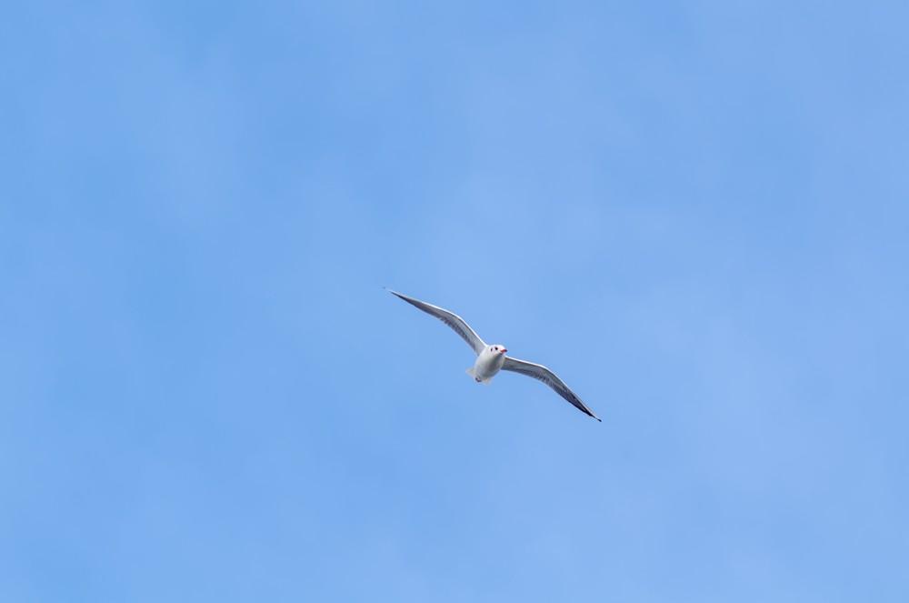 Flying seagull