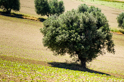 Olive tree in a plowed field