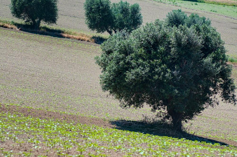 Olive tree in a plowed field